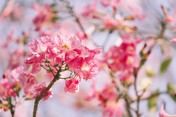 Pink tabebuia rosea blossom cherry flowers in the summer of thailand