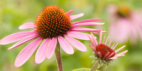 beautiful bright flowers of echinacea in a summer park or garden Wall mural