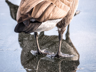 A beautiful close up photograph of a Canadian goose legs and back end as it stands in a puddle of water on top of melting ice on a lake with its body and head in the reflection.
