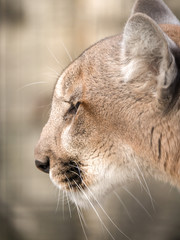 A closeup portrait photograph of a wild puma mountain lion or cougar with soft cream colored fur and blurred bokeh background.
