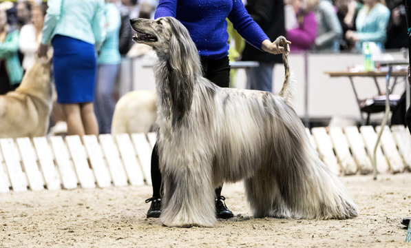 Afghan hound at the dog show.