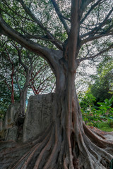 Close up of a big tropical tree trunk