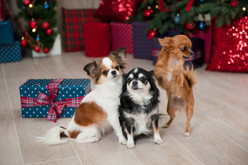 group of three little chihuahua dogs in happy new year indoors decoration