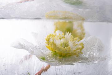 Christrose in kristallklarem Eis 3