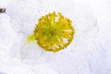 Christrose in kristallklarem Eis 2