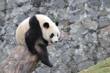 Poster Panda Giant Panda is Sitting on the Wood Stool, China