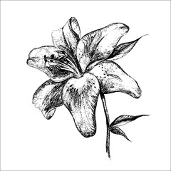 lily botanical illustration