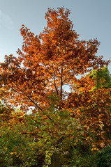 Natural background part from autumnal multicolor forest on the blue sky, South park, Sofia, Bulgaria