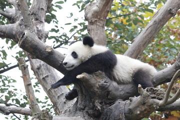 Autocollant pour porte Panda Fluffy Panda Cub Enjoys Chilling Out on the Tree, China