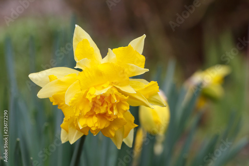 Fleur De Jonquille Jaune Stock Photo And Royalty Free Images On