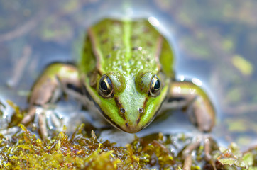 Green frog in the pond, springtime, funny head out of the water
