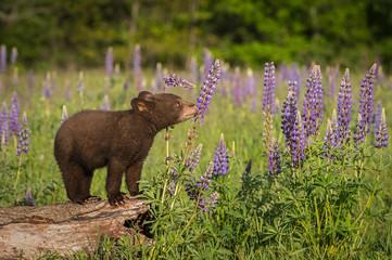 Black Bear Cub (Ursus americanus) Sniffs at Lupin
