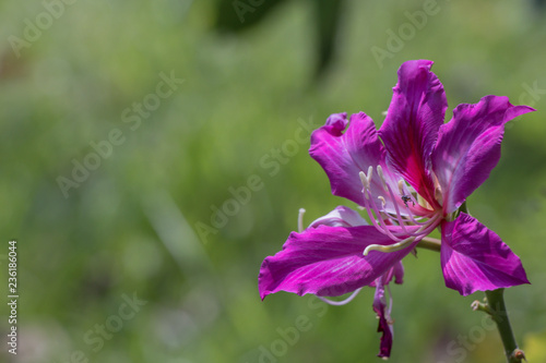 Beautiful Pink Flower Name Purple Orchid Tree Butterfly Tree Or