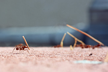 Leafcutter ants carrying dried leaves
