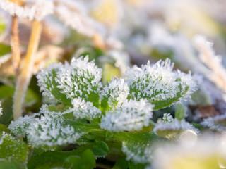 霜がついた草 植物 冬の朝 寒い 氷
