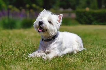 Happy West Highland White Terrier dog lying down on a green grass in summer Wall mural