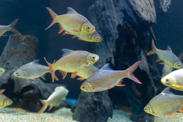 Close up beautiful fish in the aquarium on decoration of aquatic plants background. A colorful  fish in fish tank.