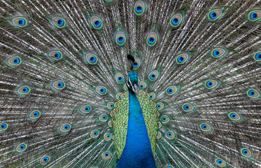 Male Peacock with Tail Feathers on Display