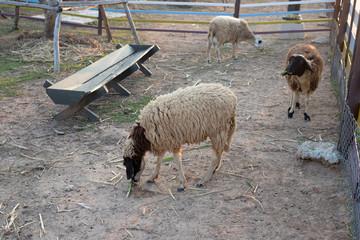 Sheep in a fence farm./Sheep eating grass in farm.