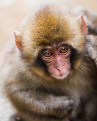 Baby snow monkey face portrait 1