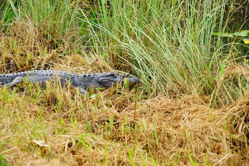 sleeping alligators in everglades national park