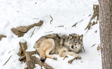 Calm and peaceful brown wolf in a snowy rocky landscape