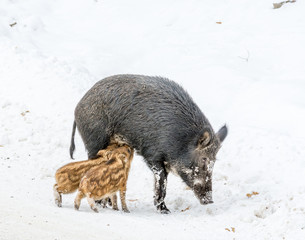 Nursing Mommy Boar With Two Piglets Drinking Milk in the Snow