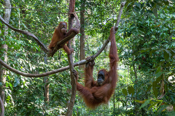 Mother and baby orangutan in the jungle of Sumatra, Indonesia