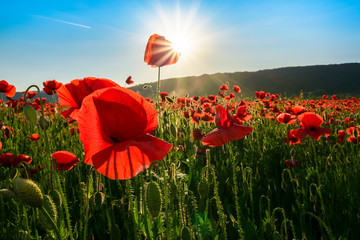 sea of poppy flower in mountains at sunset