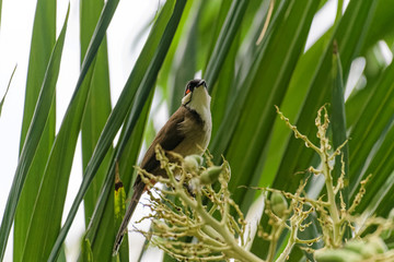Red whiskered bulbul eating fruits from a tree