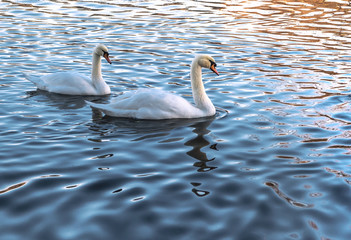 Two white swans in blue water at sunset.