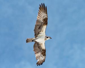 Osprey soaring overhead