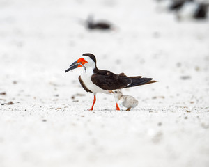 Downy chick with adult black skimmer holding fish