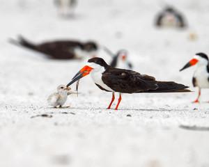 Adult black skimmer feeding fish to downy chick