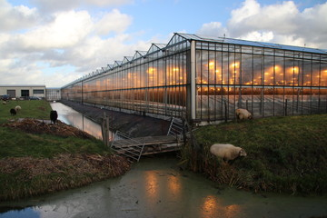 Greenhouse with orange lights for growing  roses better in Zevenhuizen in the Netherlands