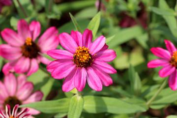 pink zinnia on green garden background