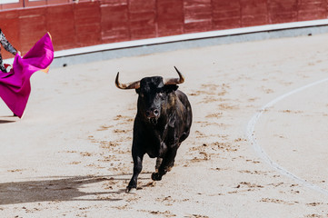 Photo sur Aluminium Corrida Fighting bull running in the arena. Bullring. Toro bravo
