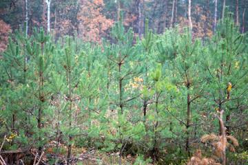 Obraz młody las sosnowy choinki - fototapety do salonu