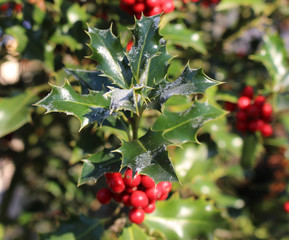 Symbol of Christmas in Europe. Closeup of holly beautiful red berries and sharp leaves on a tree in autumn weather.