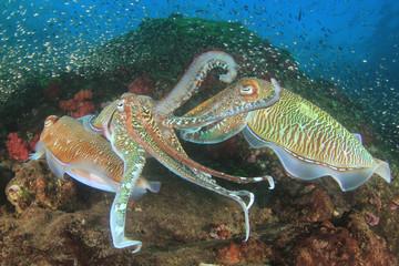 Pharaoh Cuttlefish mating pair