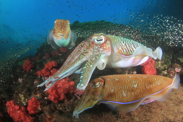 Pharaoh Cuttlefish mating pair