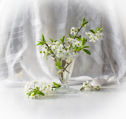 Bouquet of the blossoming cherry in green leaves in a glass vase on a white background with reflection in a table.