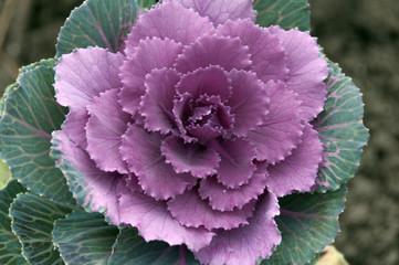 Декоративная розовая капуста