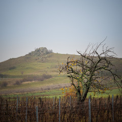 Cherry tree and vineyards in autumn in burgenland