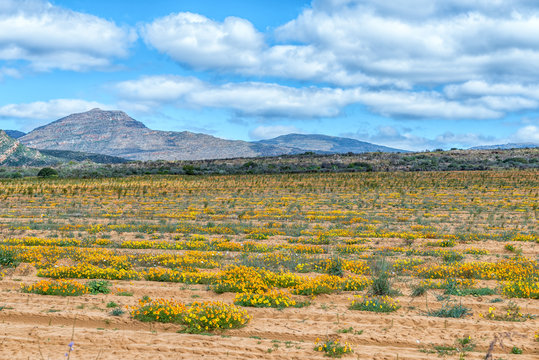 Wild flowers in a rooibos tea field near Clanwilliam