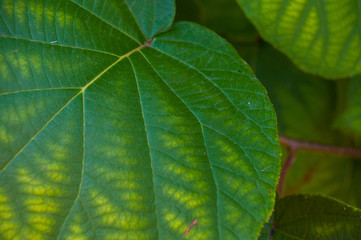 Green kiwi leaves on the vine, close up