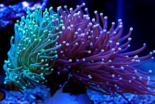 Euphyllia torch colorful LPS coral in Reef aquarium