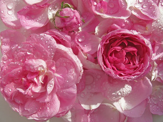 Damask rose with water drops