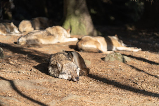 A pack of wild wolves are sleeping in the sun. One Wolf in the foreground.