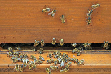 western honey bees (Apis mellifera) gathering at the entrance to the beehive, Frankfurt am Main, Germany